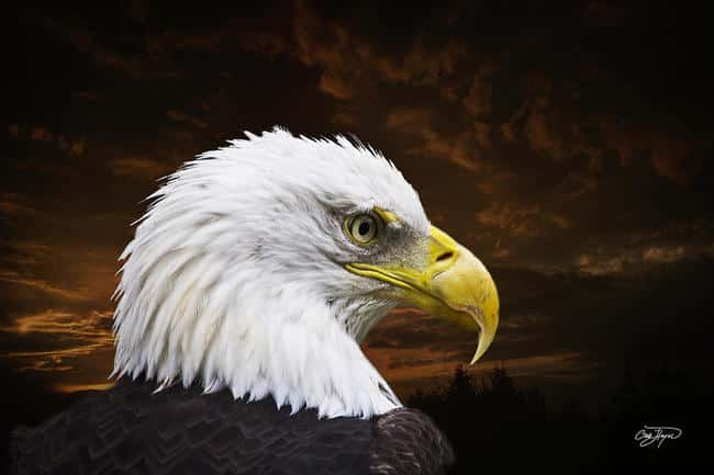 chris-hayes-bald-eagle