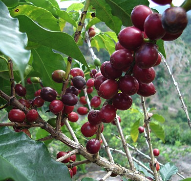 coffee_berries